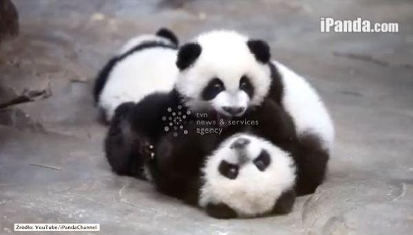 Pandy trojaczki rosną jak na drożdżach