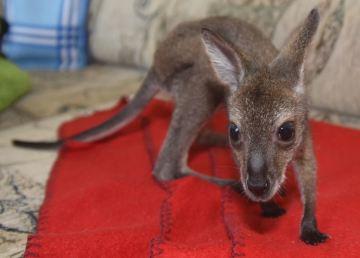 Pani Małgosia wychowuje... kangurzycę!